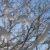 Lunta pajun oksilla sinistä talvitaivasta vasten.